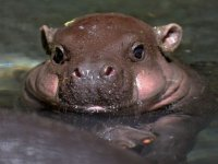 Just A Baby Hippo