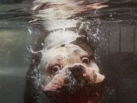 Swimming Bulldog